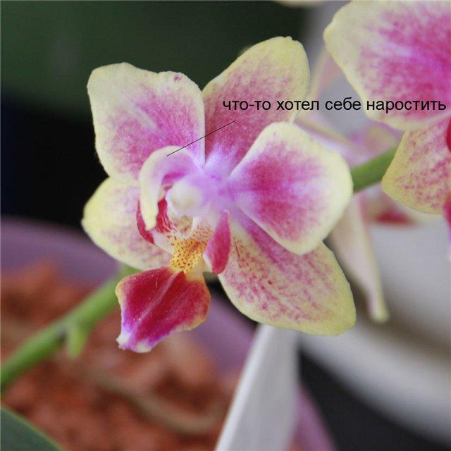 Странности и интересности наших орхидей - Страница 4 068058439929