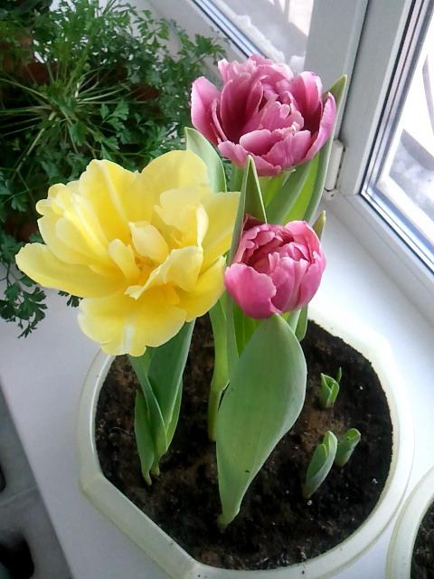 Выгонка луковичных. Тюльпаны, крокусы и др. - Страница 2 F766901dcc22