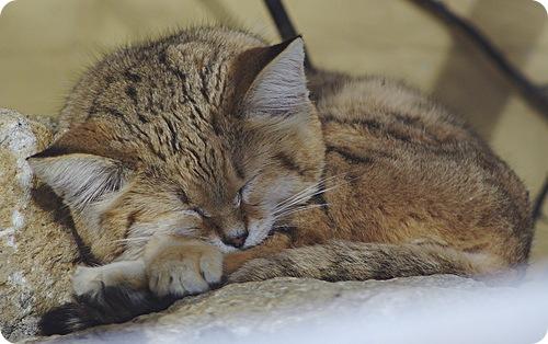 Необычные и редкие породы кошек и собак 4de17a463d4c