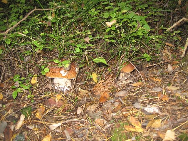 За грибами в Конаково (Тверская область, Волга)! F8450c098555