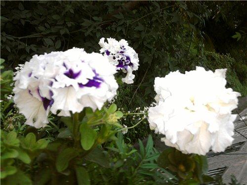 Цветы на балконе. - Страница 5 8708c8115269