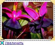 ФУКСИИ В ХАБАРОВСКЕ  - Страница 2 A944e98f373et