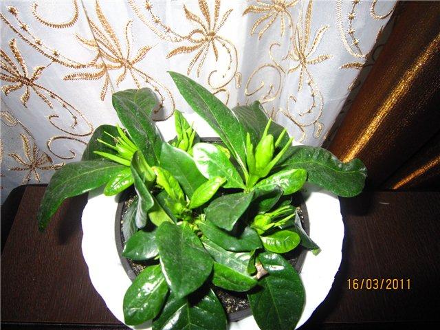 Мои цветулечки - Страница 12 7d70d712e6a3