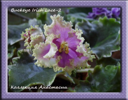 Buckeye Irish Lace-2 2d4663feadfe