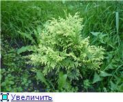 Хвойные растения и вересковые в садовом дизайне. F4e008953a52t