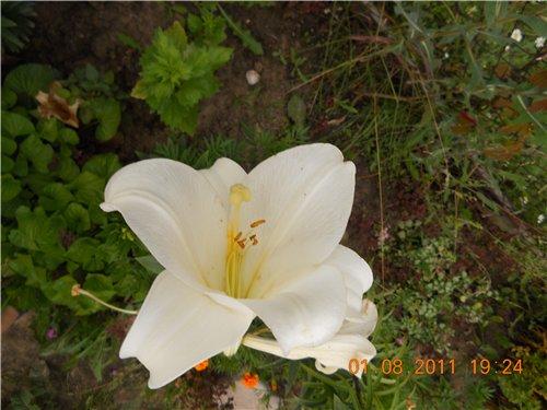 Дачные красоты - Страница 6 0a6b75129bc6