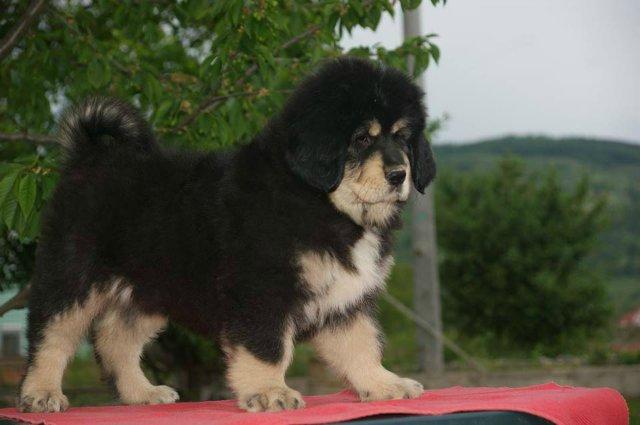 «Tibetan Mastiff Breeding Plans and Puppies for Sale». 500cdb2f6187