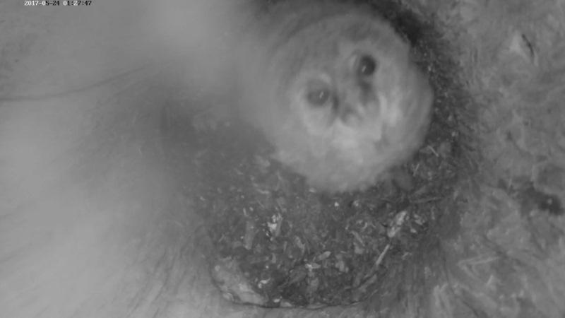 Estonian Tawny Owl Webcam 2017-2018 - Page 2 9d719bc6364e