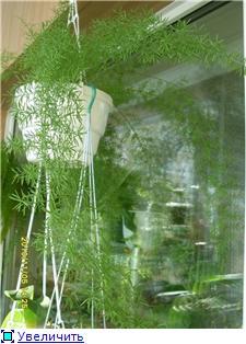 Аспарагусы из семян 6adc39f055f0t