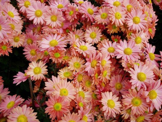 Парад хризантем в Никитском ботаническом саду. Крым  1e68a790c2c4