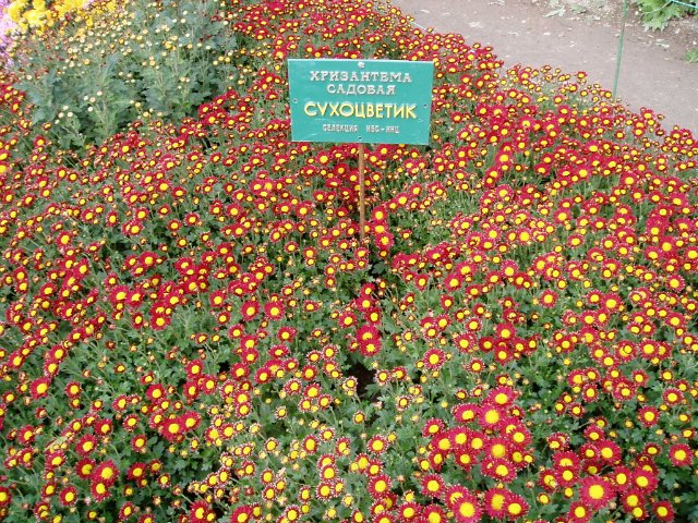 Парад хризантем в Никитском ботаническом саду. Крым  D21e272e132a