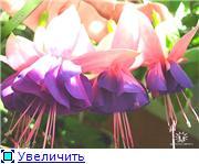 ФУКСИИ В ХАБАРОВСКЕ  - Страница 2 41e2f3d043b9t