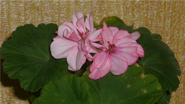 Мои любимые цветочки - Страница 2 Abadedb3c041