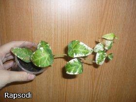 декоротивно-лиственные и красивоцветущие растения - Страница 3 D3043b0bb1a9
