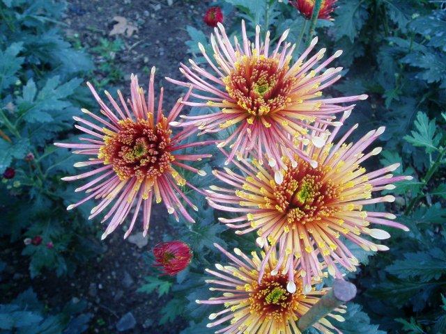 Парад хризантем в Никитском ботаническом саду. Крым  - Страница 2 D13f7107d65a