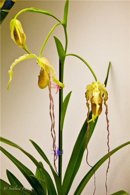 Выставка орхидей в Государственном биологическом музее им. К.А.Тимирязева 0a1e1ea4bfb4