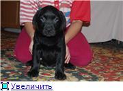 Шоколадные и черные щенки лабрадоров в  питомнике Луссо Анжело Af677f947e60t