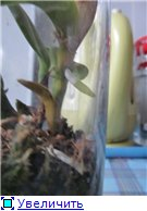 Странности и интересности наших орхидей B9d93eae1828t