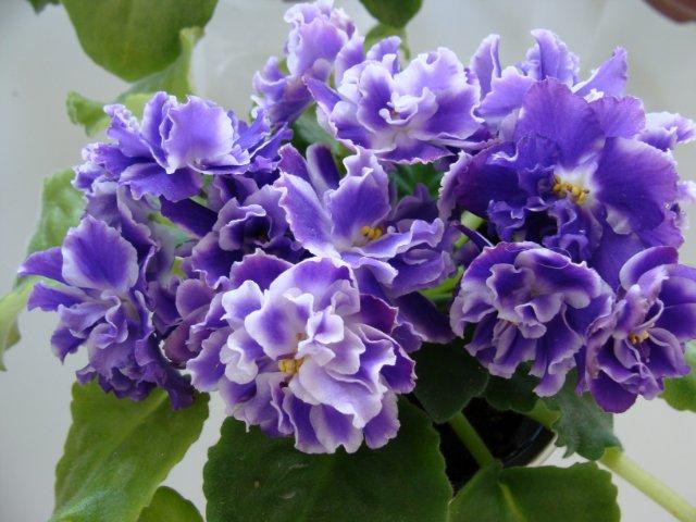 Мои цветочки - Страница 19 3a14425d6e1a