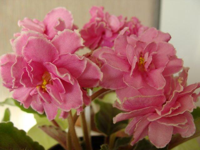 Мои цветочки - Страница 13 7fb8c1e0d446