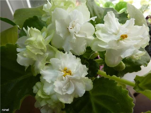 Spring Rose   (LLG) - Страница 3 658f49120525