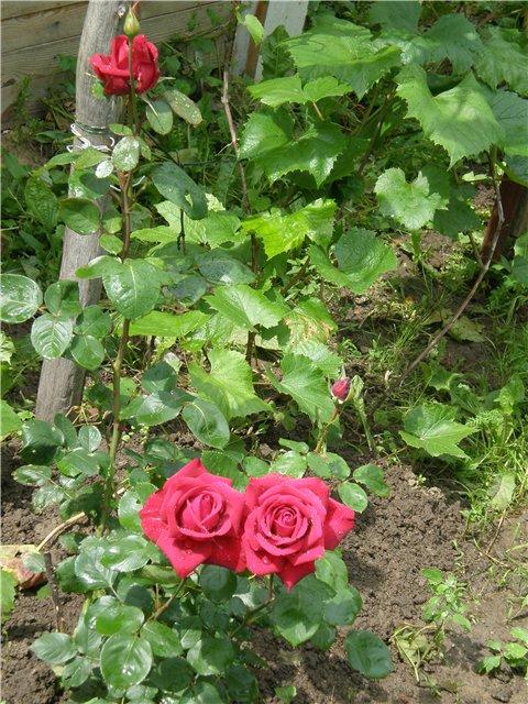 Многолетние растения - Страница 3 72b96f67a69b