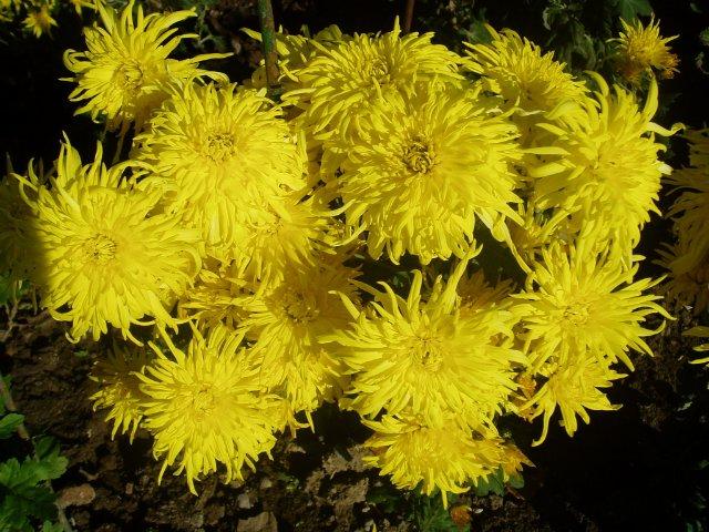 Парад хризантем в Никитском ботаническом саду. Крым  - Страница 2 22503bfe8814
