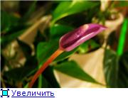 Антуриум (Anthurium) - Страница 2 4ff984f7cda7t