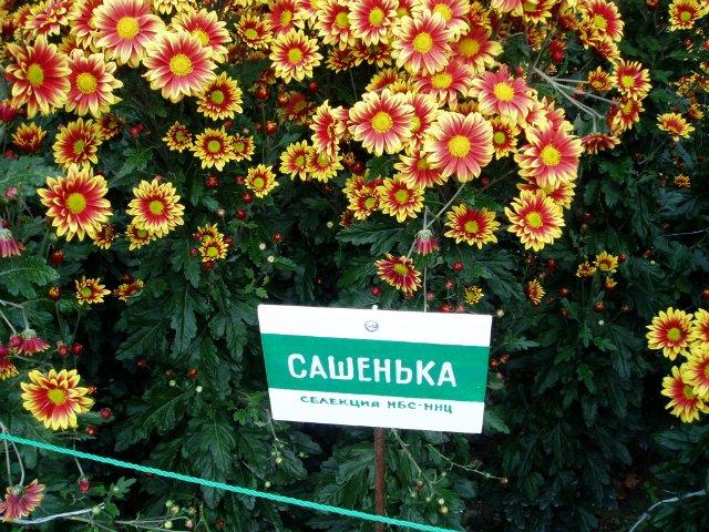 Парад хризантем в Никитском ботаническом саду. Крым  370a4f3823c9