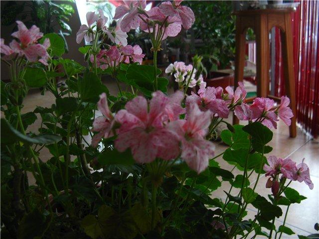 Цветочки комнатные!...и не только... Cdcfb52bf7e4