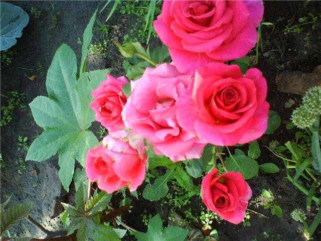 Что растет у нас в саду ? - Страница 17 85b6460e8697