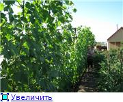 Виноград- секреты выращивания C0d1f347318et