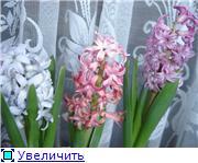 Выгонка луковичных. Тюльпаны, крокусы и др. De4ee7527b1ct