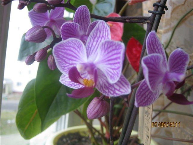 Разведение орхидей. - Страница 13 58f393281d33