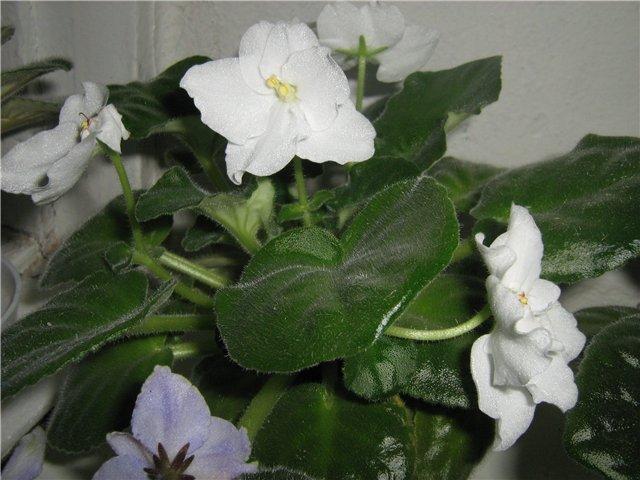Моё цветочное богатство - Страница 10 E4227730eb7e