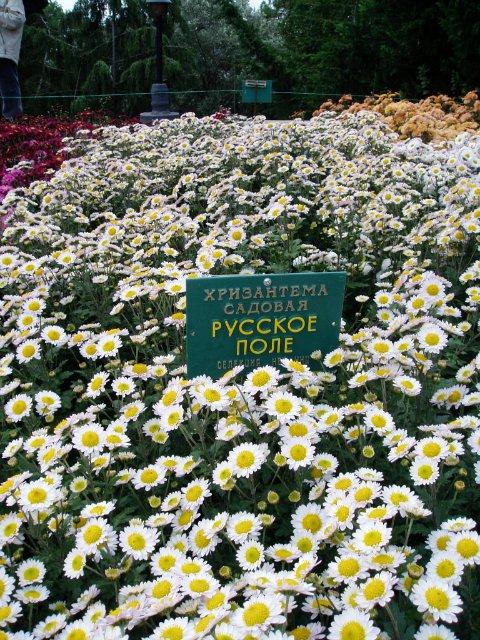 Парад хризантем в Никитском ботаническом саду. Крым  A1a6bc22e374