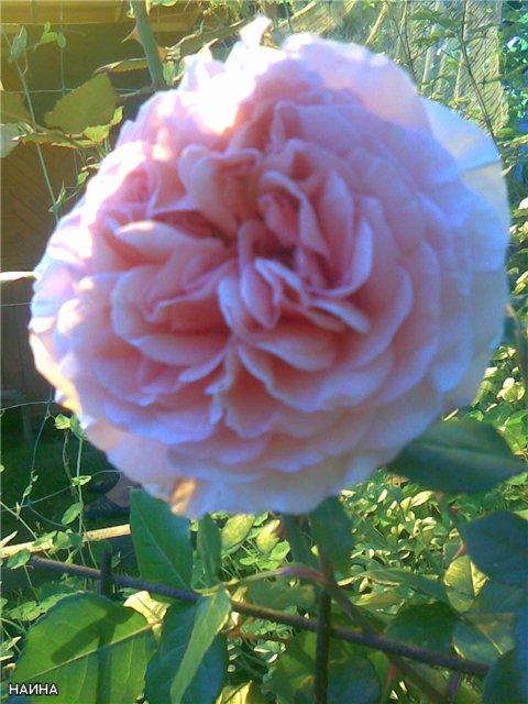 <K> Украсим розами любовь!  Фотовыставка. 4b22123a5f85