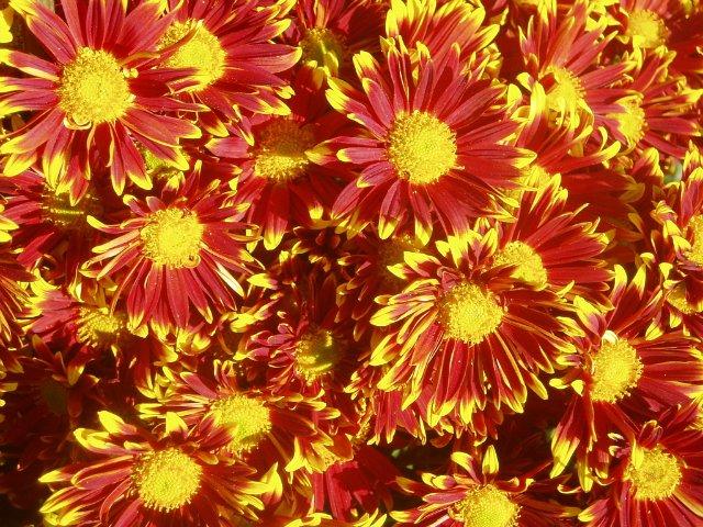 Парад хризантем в Никитском ботаническом саду. Крым  - Страница 2 B41d33254059