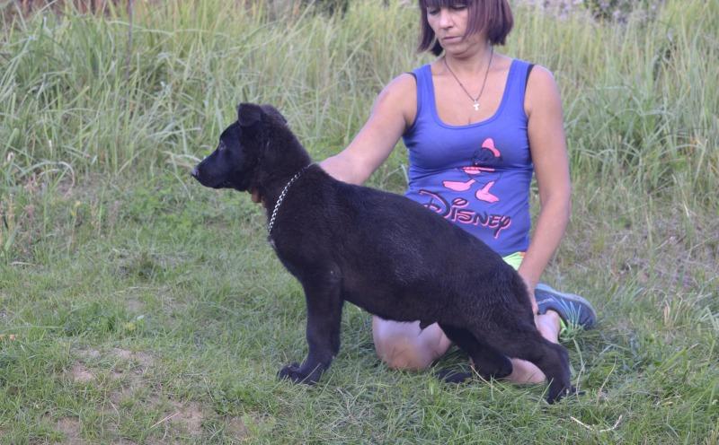 Щенки немецкой овчарки Черного окраса! A06ae442ec25