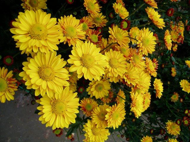 Парад хризантем в Никитском ботаническом саду. Крым  Fd72f4799956