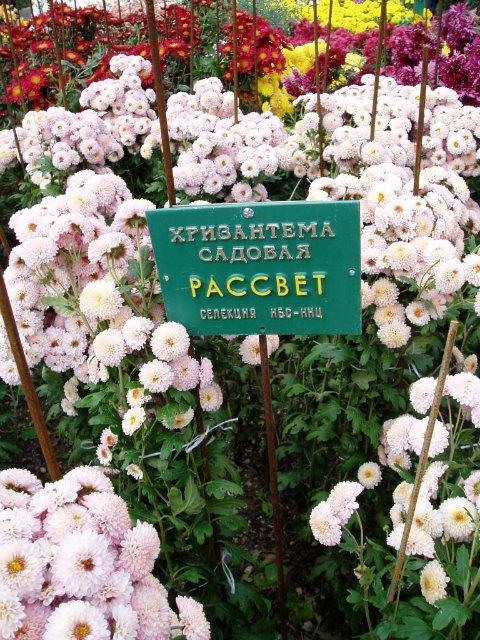 Парад хризантем в Никитском ботаническом саду. Крым  A790427bc9b0