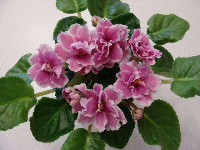 Мои цветочки - Страница 19 57927dcea8c2