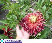 Георгины в цвету F2726c8ccd17t