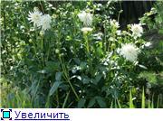 Георгины в цвету 4ccae1efe2b6t