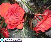 БЕГОНИЯ - неколючая роза. Ec055ed2b2dbt