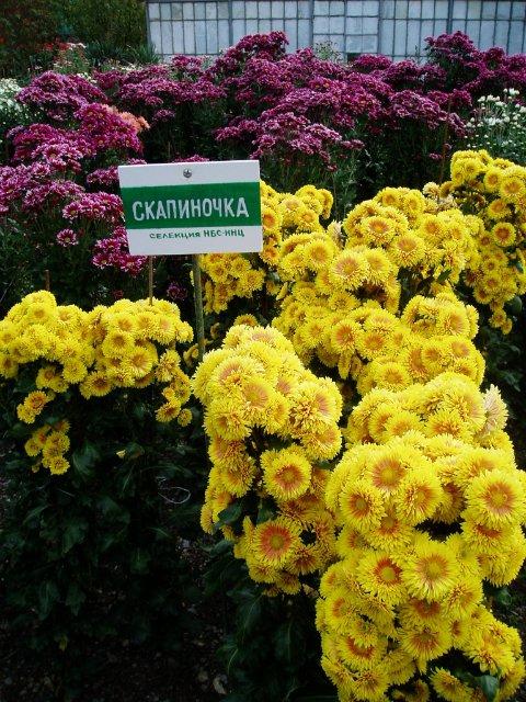 Парад хризантем в Никитском ботаническом саду. Крым  1aa32c461623