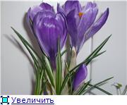 Выгонка луковичных. Тюльпаны, крокусы и др. B89decd97fc0t