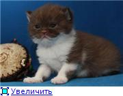 Британские котята. Окрас:  голубой, шоколадный биколор. 6d7023617e09t
