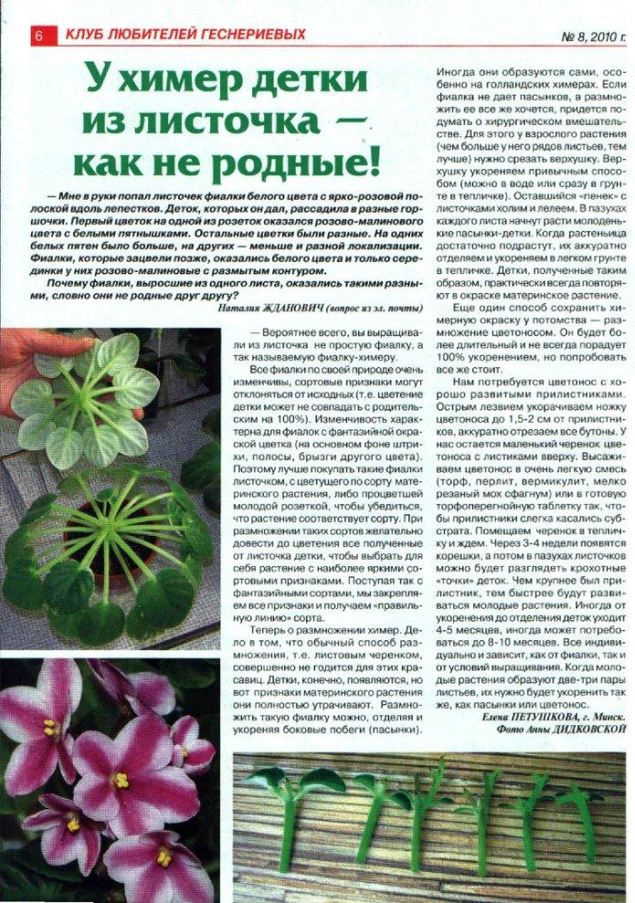 узамбарская фиалка или сенполия 873899264919