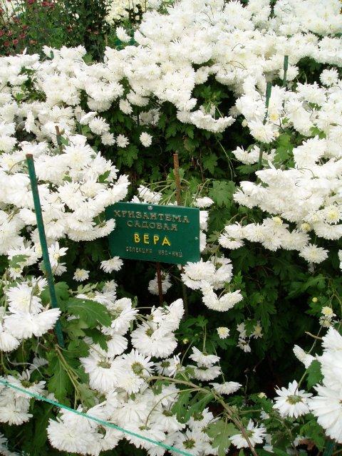Парад хризантем в Никитском ботаническом саду. Крым  657de069c829